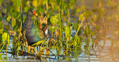 Purple Gallinule (Immature) (sjsimmons68) Tags: orangeco rails fllocations bird favorites orlandowetlandspark fav purplegallinule animals