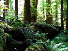 Redwood Forest (towardsthesun) Tags: california trees forest redwood redwoods ferns northern ecosystem