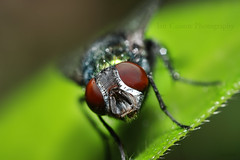 DIPTERA ( Greek : DI = two ; PTERON = wing ) (Ian Cuison Photography) Tags: macro insect fly pinoy animalia arthropoda diptera insecta pterygota neoptera endopterygota togodbetheglory canon40d mcgi iancuison