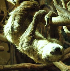 Upside down (katrin glaesmann) Tags: animal fur mammal zoo hannover sloth photocourse takenthroughawindow folivora
