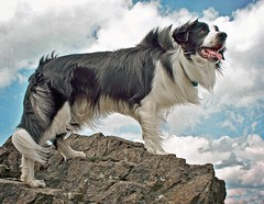 Call of the Wild ~ For Bordadorhund :) (meg price) Tags: sky dog pet clouds collie sheepdog border windy hills malvern bordercollie barney dogma abigfave freetexture magicunicornverybest thanksbordadorhund