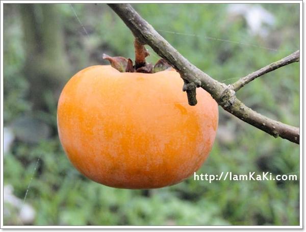 濃霧裡,誰偷吃了樹上的甜柿寶寶?!