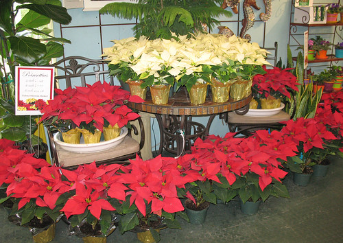 Our poinsettias make a great gift for Thanksgiving celebration hosts.
