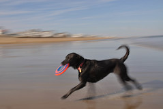 Happy Girl (quantumking007) Tags: pictures boy usa motion black blur color beach water girl animal animals yellow digital fun toy photography photo jump sand nikon lab exposure flickr labrador waves photographer play teddy photos action picture charles run images retriever coco chase catch frisbee pan doggy capture panning fetch doggie crowley chuckit d90 top20dogs wwwcharlescrowleyphotographycom charlescrowleyphotography charlescrowleyphotographycom quantumking007