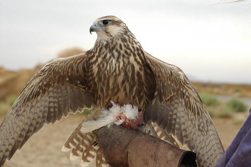 Hermes - Saker Falcon
