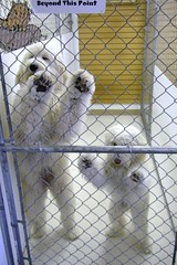Yeti Daycare (Back in the Pack) Tags: dog white calgary dogs standing fence puppy children furry young f10 doodle fujif10 daycare neko labradoodle yeti smelly goldendoodle fruitloops malie dogdaycare beyondthispoint wwwbackinthepackca yetidaycare albertabarks