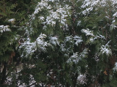 snow on the evergreens