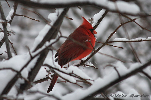 NorthernCardinal_IMG_3912