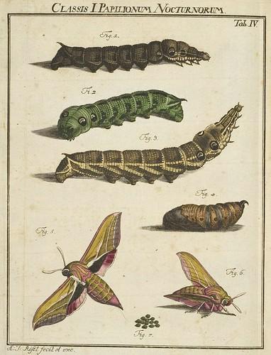 Classis I Papilionum Noctornum (Sphinx elpenor) V.1