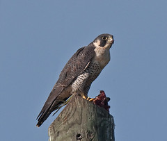 Peregrine Falcon Eating Common Moorhen (kevansunderland) Tags: birds raptor falcon floridaeverglades hawks peregrinefalcon naturesfinest commonmoorhen birdphotography floridabirds avianexcellence theunforgettablepictures alittlebeauty birdqualityonlyclub peregrinefalconeatingbird