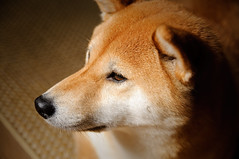 She's a Big Girl Now (kaoni701) Tags: red portrait dog pet cute animal closeup puppy fur wolf dof bokeh fox 1750 28 suki shibainu shiba tamron vc akita shibaken   d300s suki