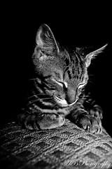 24/365: Sweet Dreams (Allison Badely) Tags: portrait blackandwhite bw pet white black texture animal cat canon rebel xt kitten sleep sigma domestic gato animale project365 1550mm