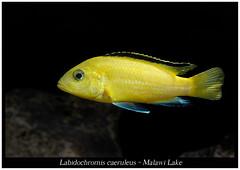 labidochromis caeruleus_800_03 (Bruno Cortada) Tags: malawi marino mbunas cclidos sudafricanos tanganyica