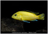 labidochromis caeruleus_800_03 (Bruno Cortada) Tags: malawi marino mbunas cíclidos sudafricanos tanganyica
