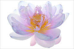 Flower / Lotus Flower /color / colors / - IMG_8580-1000-cs3 - / nature / flower / flowers / summer - colorful - nature - , ,  , Fleur de Lotus, Lotosblume, , , (Bahman Farzad) Tags: flowers summer flower macro nature fleur beautiful de colorful lotus   lotusflower lotuspetal  lotuspetals  lotosblume   lotusflowerpetals lotusflowerpetal