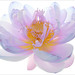 Flower / Lotus Flower /color / colors / - IMG_8580-1000-cs3 - / nature / flower / flowers / summer - colorful - nature - ハスの花, 莲花, گل لوتوس, Fleur de Lotus, Lotosblume, कुंद, 연꽃,