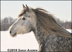 Atlas (Rock and Racehorses) Tags: snow grey profile gray atlas mane draft percheron dapplegrey ska7474