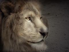 Golden lion (zoran1304) Tags: eye animal animals canon zoo golden sad looking leo lion away powershot zagreb retouch retouched s5 panthera