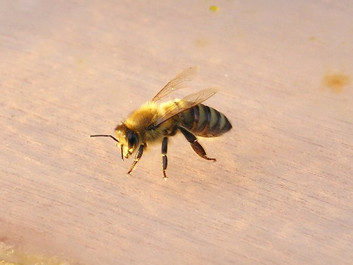 Eine der letzten Bienen im Spätsommer by blumenbiene, on Flickr