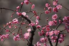 IMG_4566 (eyawlk60) Tags: trees japan plum osaka ume