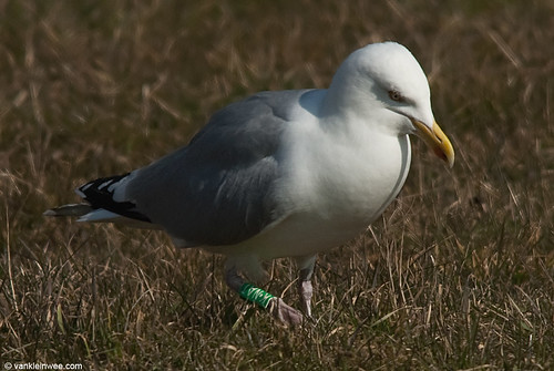 European Herring Gull, G[K.NAT], adult