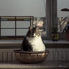I is barbapapa (moggierocket) Tags: sunlight window cat table living nikon basket
