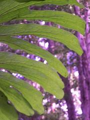 Staghorn (YAZMDG (15,000 images)) Tags: trees green nature forest flora nsw ferns epiphyte goonengerry australianspecies rainforestspecies nswrfp arfepiphyte yazminamicheledegaye northernriversspecies