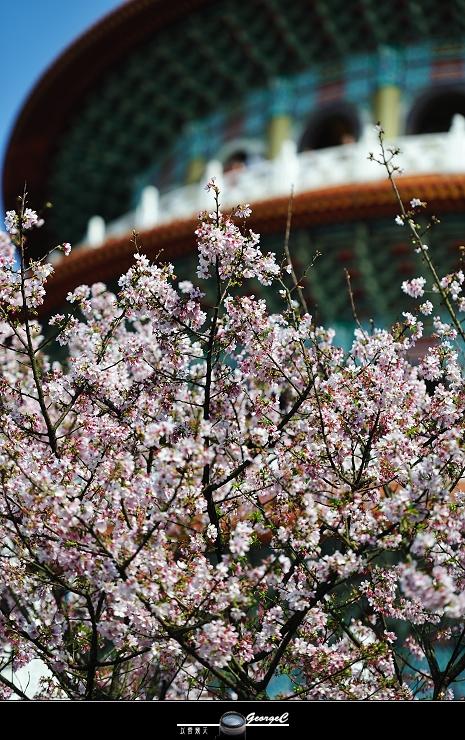 Sakura sunny 07