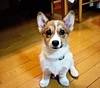 first pose (moaan) Tags: dog corgi welshcorgi march2000 pochiko gettyimagesjapanq1 gettyimagesjapanq2
