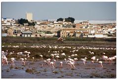 Fuente de Piedra 01 (Lomumo) Tags: españa andalucía spain flamingos lagoon naturereserve laguna andalusia malaga flamencos fuentedepiedra reservanatural flickraward lomumo