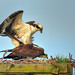 Tracy Mate|Osprey Afternoon...Part Three of Four...Mating...Shady Side, Maryland