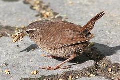 135055-IMG_9467 Wren (Troglodytes troglodytes) (ajmatthehiddenhouse) Tags: uk bird garden kent wren troglodytes 2009 winterwren troglodytestroglodytes stmargaretsatcliffe