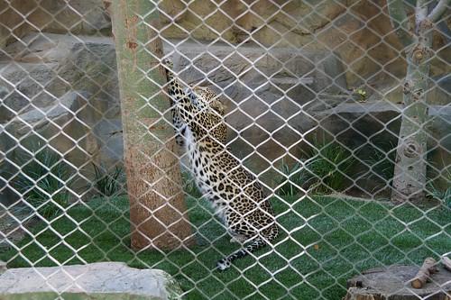 10.5 Leopard