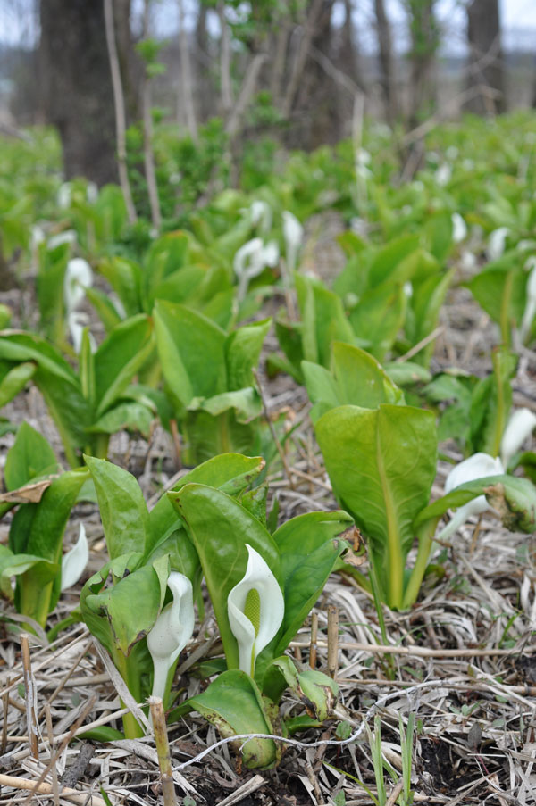 Asian skunk cabbage