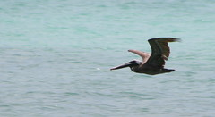 "Apr08_ DR Trip_ Brown Pelican 1 • <a style=""font-size:0.8em;"" href=""http://www.flickr.com/photos/30765416@N06/4520275669/"" target=""_blank"">View on Flickr</a>"