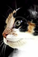 001638 D 300 (Massimo Marchina) Tags: italy animals cat italia gato katze gatto vicenza veneto mimì afsnikkor80200128dnikoned