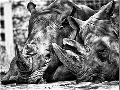 Sleeping (Matt Lazzarini) Tags: sleeping toronto ontario canada lens zoo focus olympus rhino manual horn rhinoceros 43 e600 oly whiterhinoceros fourthirds beautifulphoto spiritofphotography tokina400mmf56
