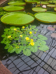 Victoria amazonica (melastmohican) Tags: float lily victoria leaf amazonica exotic amazonian large water waterlily amazon aquatic lake lotus botany blossom garden round plant nature flower flora river huge forest botanical rainforest green pond giant tropical regia