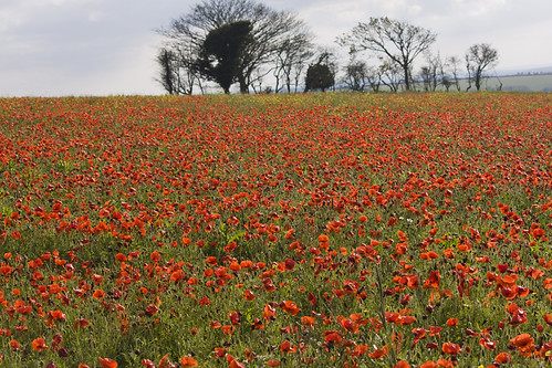 Poppies by MarilynJane, on Flickr