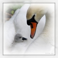 Beauty in the eyes of the beholder (Russ Cribb) Tags: uk baby cute bird love nature beauty bristol spring swan bath framed wildlife watch cygnet 2009 mute visualart 2010 bitton springwatch swineford beautifulshot infinestyle platinumheartaward colorsofthesoul russcribb lovely~lovelyphoto bestcapturesaoi boxofhappymemories