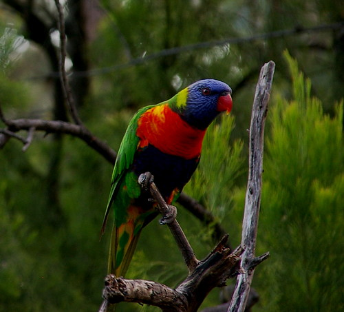 cross lorikeet