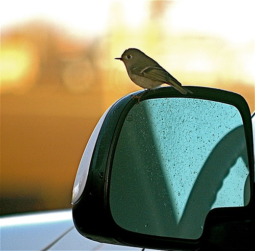Ruby-crowned Kinglet on SUV mirror