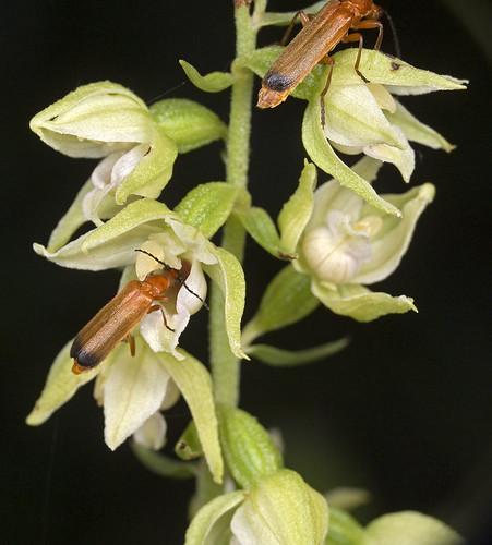 Epipactis, abreuvoirs à insectes 4062124035_8cf23f961c