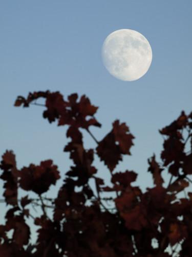 La luna en los viñedos
