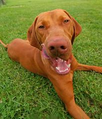 Magyar Vizsla (Lutz Koch) Tags: portrait orange dog hungary pointer pentax teeth hound vizsla wideangle fisheye hund kutya magyar ungarn hounddog zähne hungarian gebiss orangedog weitwinkel hungarianvizsla ungarisch vorstehhund jagdhund magyarvizsla elkaypics