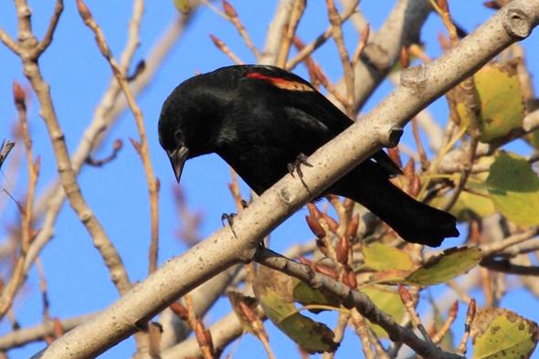 567_redWingedBlackbird