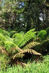 tree fern (Joachim S. Mller) Tags: ireland irland treefern countykerry baumfarn tamronaf18270mmf3563 rossdohanisland oilenrosdochan
