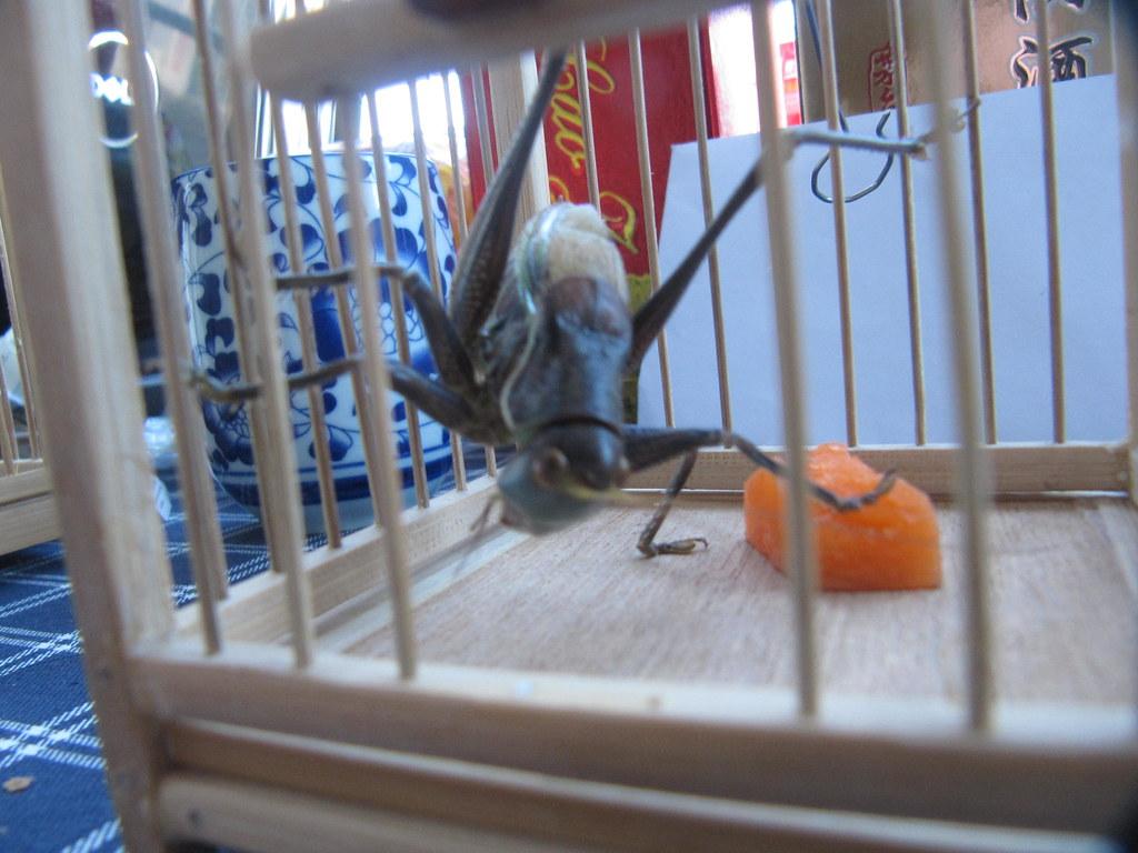 Pet Cricket having his carrot