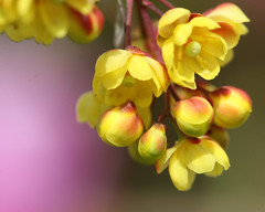 Yellow Berberis flowers. (Mukumbura) Tags: pink red flower macro sunshine yellow spring berberis vosplusbellesphotos