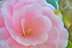 Camellia sasanqua (Jim Mayes) Tags: macro digital canon eos aperture tripod 90mm manfrotto 460mg 190b tamronspaf90mmf28dimacro